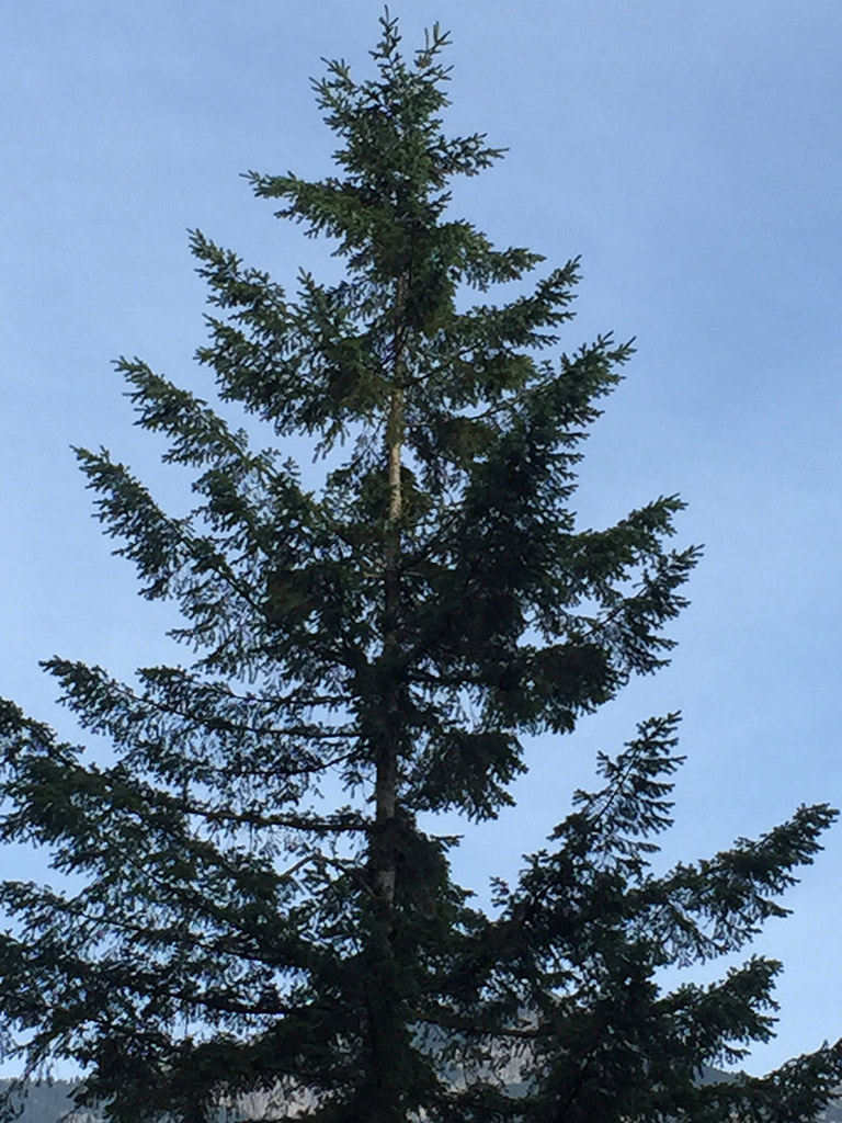 The top portion of a tall conifer surrounded by blue sky.