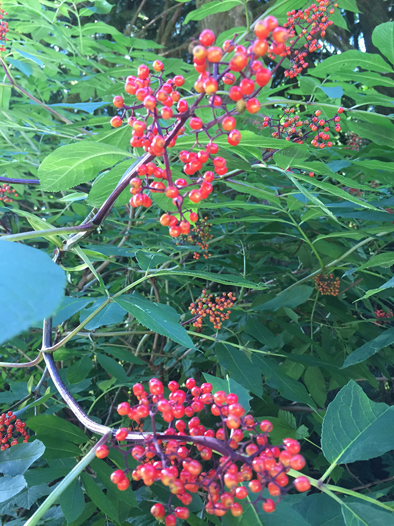 Bunches of red berries on the stems of a bush.