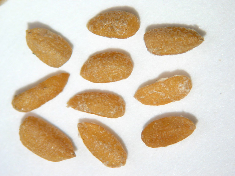 Ten oblong honey coloured seeds.