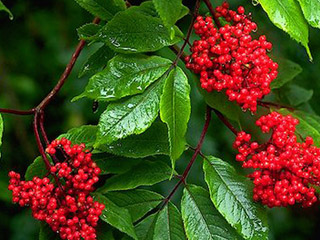 Close up of the dark red bunches of berries on the plant, dark green foliage, wet from a recent rainfall.