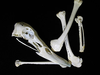 An array of duck bones, including the beak.