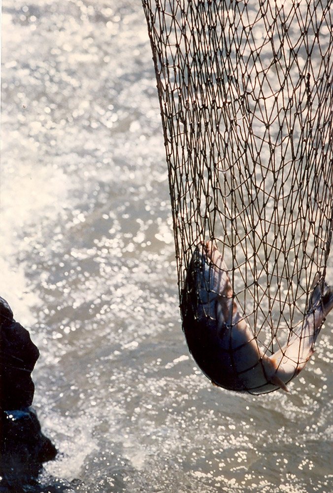 A fishing net dangles over the river, and holds a live fish inside it.