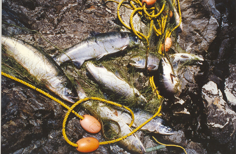 A fresh haul of salmon sits on the rocky shore, with rope and fishing nets.